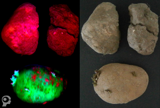 Hyperspectral sorting of potatoes, stones, clod of soil